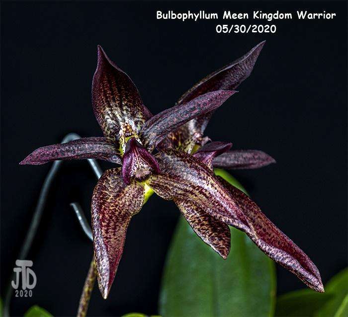 Name:  Bulbophyllum Meen Kingdom Warrior2 05302020.jpg Views: 51 Size:  198.3 KB