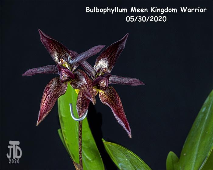 Name:  Bulbophyllum Meen Kingdom Warrior4 05302020.jpg Views: 53 Size:  149.2 KB