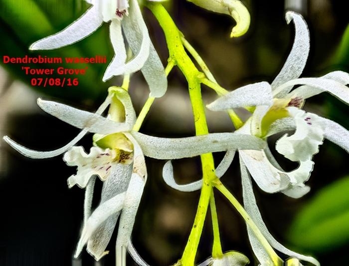 Name:  Dendrobium wassellii 60mm.jpg Views: 470 Size:  286.7 KB