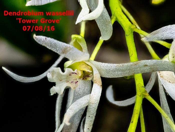 Name:  Dendrobium wassellii 100mm.jpg Views: 356 Size:  266.5 KB