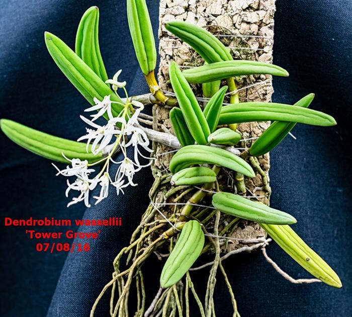 Name:  Dendrobium wassellii.jpg Views: 1221 Size:  417.8 KB