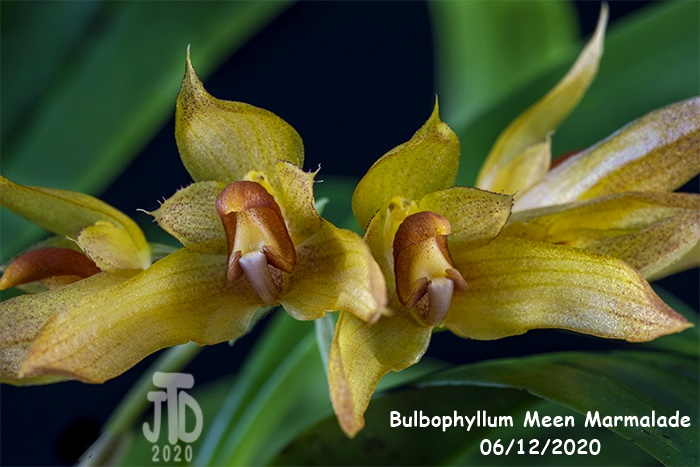 Name:  Bulbophyllum Meen Marmalade2 06122020.jpg Views: 79 Size:  119.8 KB
