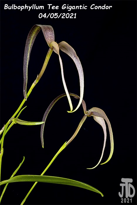 Name:  Bulbophyllum Tee Gigantic Condor2 04052021.jpg Views: 57 Size:  82.7 KB