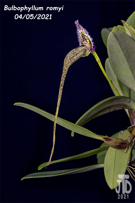 Name:  Bulbophyllum romyi2 0405221.jpg Views: 55 Size:  127.6 KB