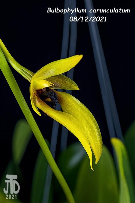 Name:  Bulbophyllum carunculatum2 08122021.jpg Views: 21 Size:  93.3 KB