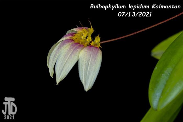 Name:  Bulbophyllum lepidum Kalimantan4 08122021.jpg Views: 29 Size:  66.7 KB