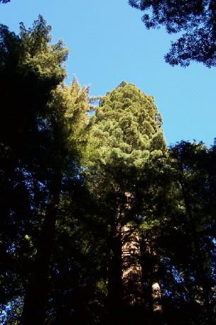 Name:  talltree.jpg Views: 148 Size:  118.0 KB