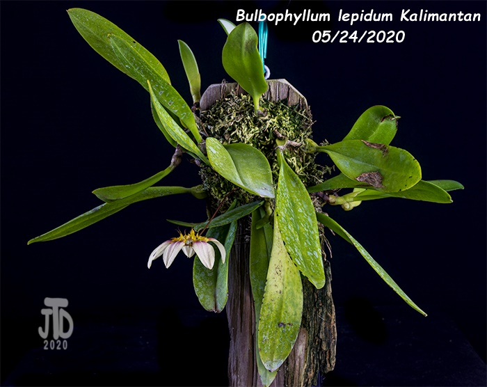 Name:  Bulbophyllum lepidum Kalimantan1 05242020.jpg Views: 44 Size:  175.7 KB