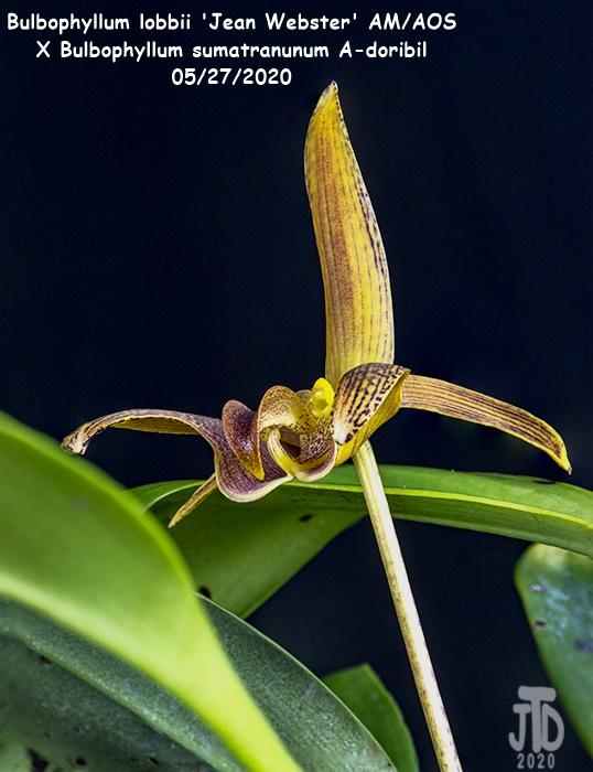 Name:  Bulbophyllum lobbii 'Jean Webster' AMAOS X Bulb. sumatranunum A-doribil2 05282020.jpg Views: 57 Size:  139.5 KB