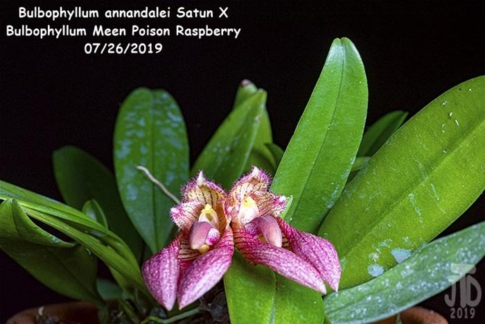 Name:  Bulbophyllum annandalei Satun X Bulbo. Meen Poison Raspberry1 07262019.jpg Views: 59 Size:  151.8 KB