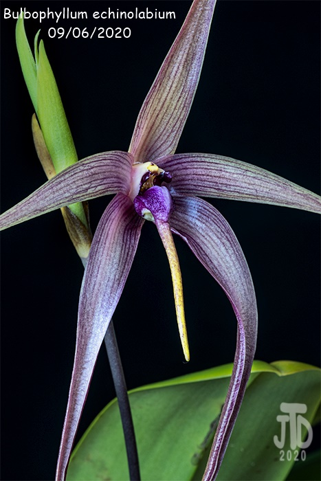Name:  Bulbophyllum echinolabium1 09062020.jpg