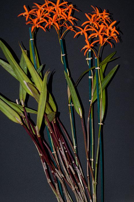 Name:  Laelia-harpophylla-2.jpg Views: 4225 Size:  83.6 KB