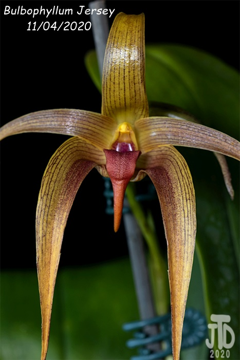 Name:  Bulbophyllum Jersey1 11042020.jpg Views: 57 Size:  104.9 KB