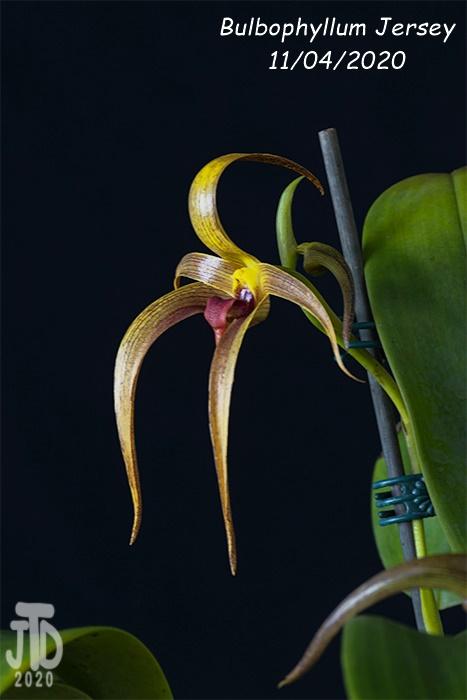 Name:  Bulbophyllum Jersey2 11042020.jpg Views: 54 Size:  86.7 KB