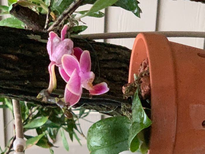 Name:  orchids2020sm_05.jpg