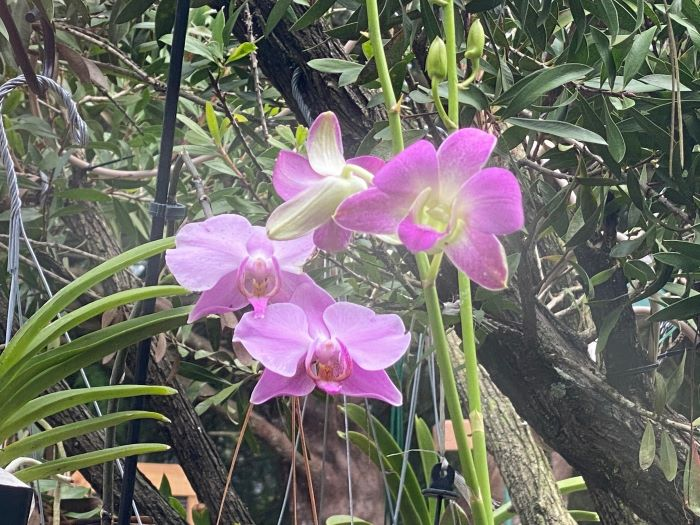 Name:  orchids2020sm_07.jpg