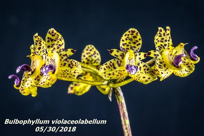 Name:  Bulbophyllum violaceolabellum2 100mm 053018.jpg Views: 192 Size:  265.6 KB