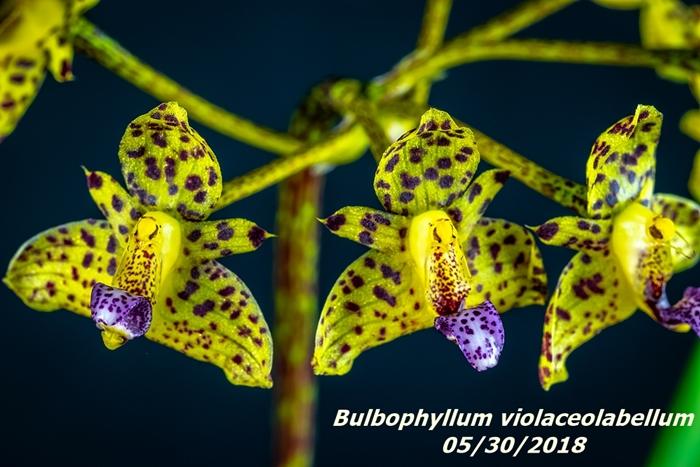 Name:  Bulbophyllum violaceolabellum3 60mm 053018.jpg Views: 200 Size:  267.4 KB