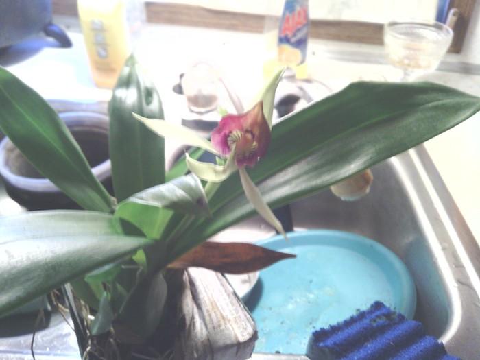 Name:  Ency bloom.jpg Views: 160 Size:  75.8 KB