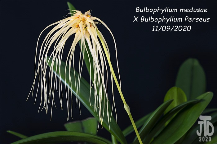 Name:  Bulbophyllum medusaeXB. Perseus4 11092020.jpg Views: 41 Size:  133.4 KB