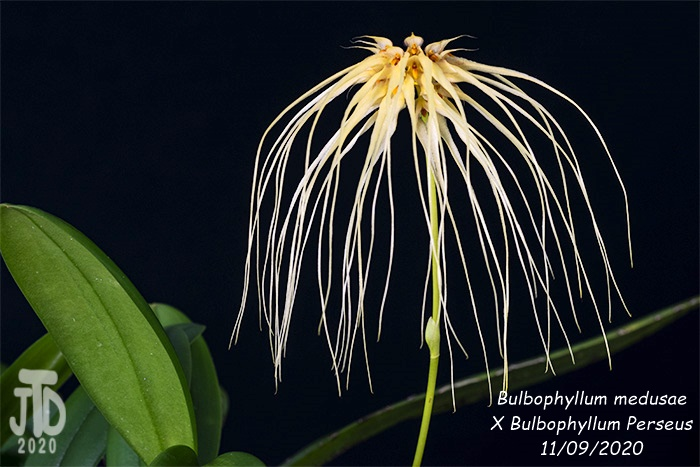 Name:  Bulbophyllum medusaeXB. Perseus3 11092020.jpg