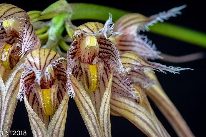 Name:  Bulbophyllum sangineopunctatum red3 09-29-2018.jpg Views: 121 Size:  286.9 KB