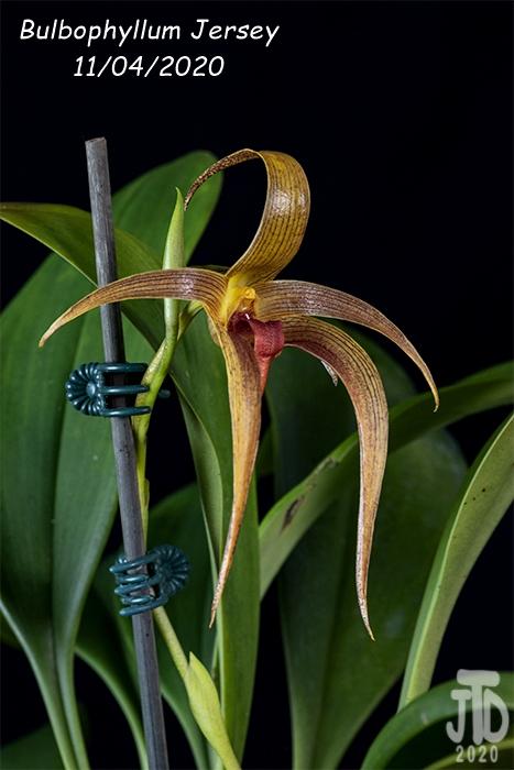 Name:  Bulbophyllum Jersey4 11042020.jpg Views: 53 Size:  208.0 KB