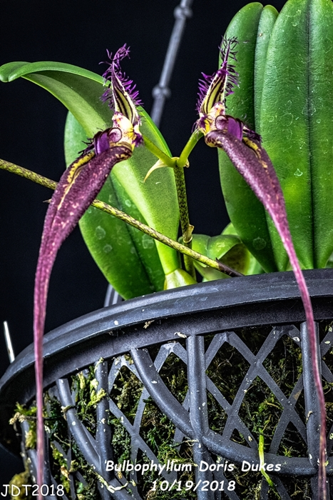 Name:  Bulbophyllum Doris Dukes2 10-19-2018.jpg