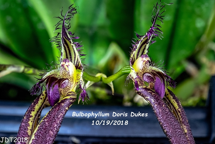 Name:  Bulbophyllum Doris Dukes4 10-19-2018.jpg