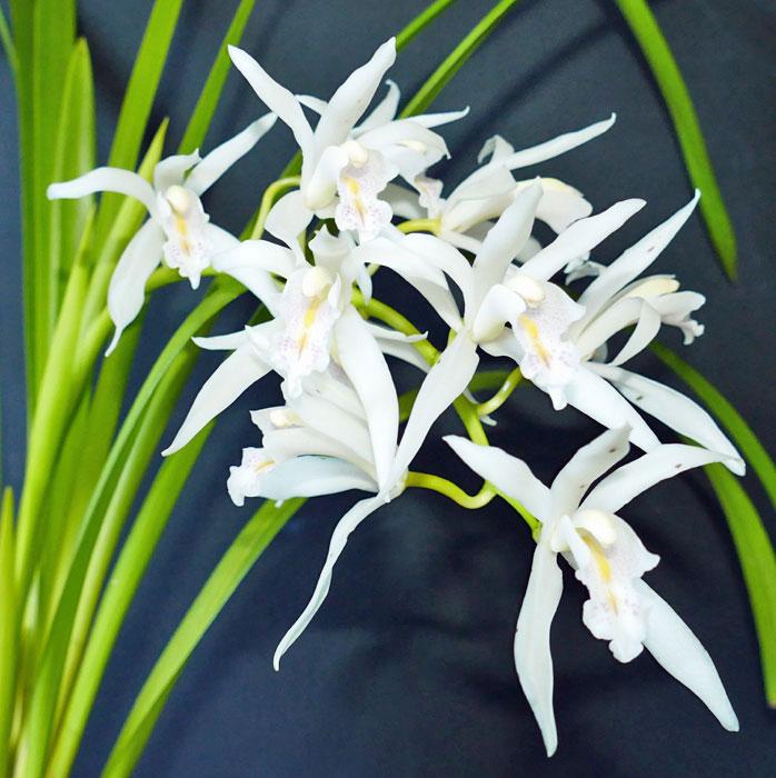 Name:  Cym.mastersii-flower-spike.jpg Views: 68 Size:  96.8 KB