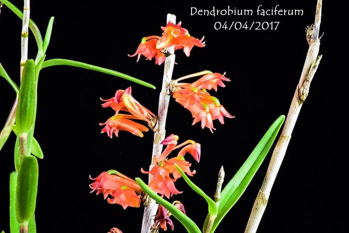 Name:  Dendrobium faciferum 300mm.jpg Views: 221 Size:  231.5 KB