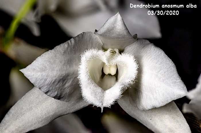 Name:  Dendrobium anosmum alba4 03302020.jpg Views: 72 Size:  129.9 KB