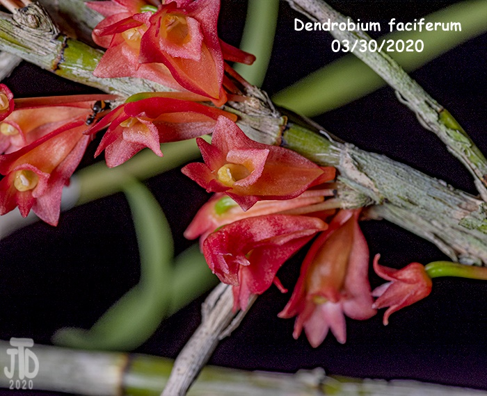Name:  Dendrobium faciferum3 03302020.jpg