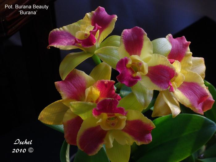 Name:  Pot. Burana Beauty 'Burana'.jpg Views: 2677 Size:  294.2 KB