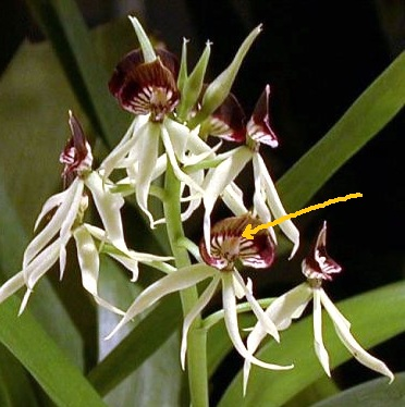 Name:  Encyclia_cochleata.jpg