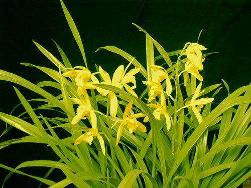 Name:  Cymbidium_Golden_Elf_Sundust.jpg