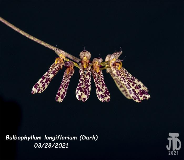 Name:  Bulbophyllum longiflorium (Dark)4 03282021.jpg Views: 48 Size:  114.3 KB