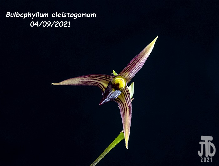 Name:  Bulbophyllum cleistogamum5 04092021.jpg Views: 55 Size:  84.2 KB