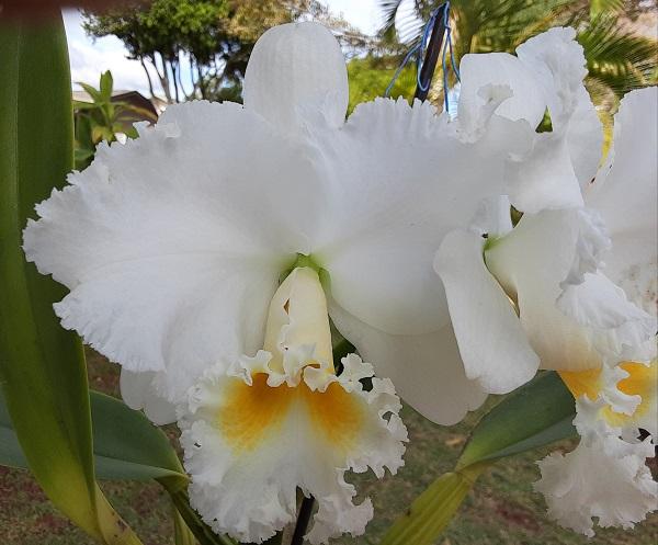 Name:  Cattleya_Earl_'Imperalis'_6x6.jpg Views: 42 Size:  100.6 KB