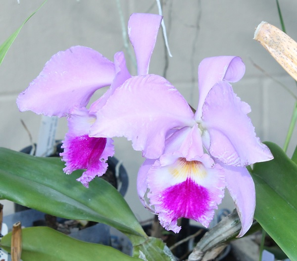 Name:  Cattleya_labiata_crop6x6.jpg