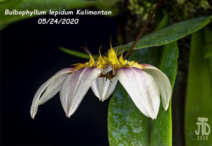 Name:  Bulbophyllum lepidum Kalimantan2 05242020.jpg Views: 43 Size:  106.8 KB
