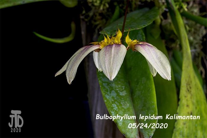 Name:  Bulbophyllum lepidum Kalimantan4 05242020.jpg Views: 40 Size:  140.5 KB
