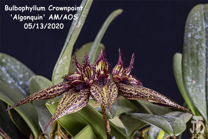 Name:  Bulbophyllum Crownpoint 'Algonquin' AM-AOS4 05132020.jpg