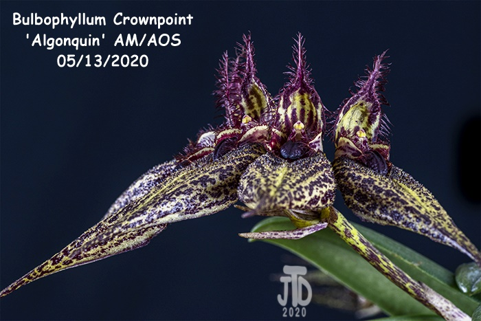 Name:  Bulbophyllum Crownpoint 'Algonquin' AM-AOS3 05132020.jpg