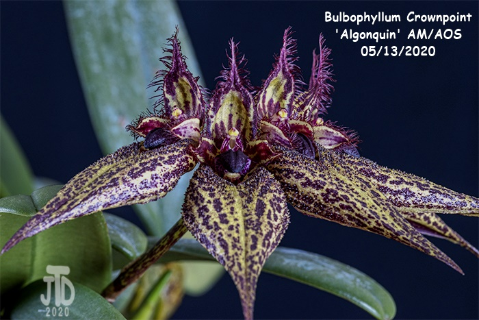 Name:  Bulbophyllum Crownpoint 'Algonquin' AM-AOS5 05132020.jpg