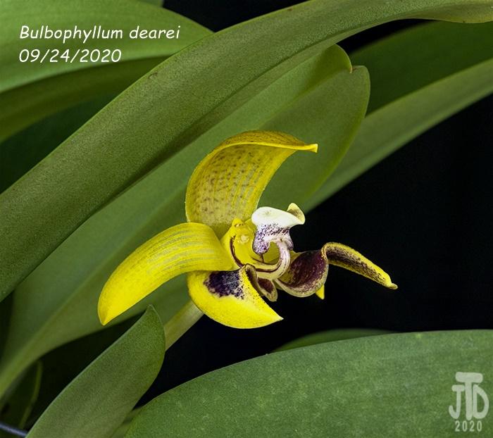 Name:  Bulbophyllum dearei2 09242020.jpg Views: 33 Size:  174.6 KB