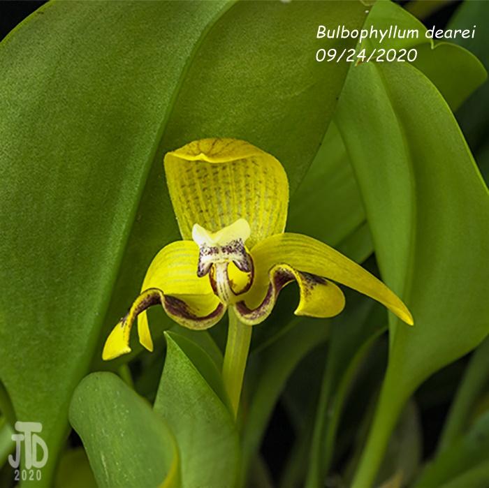 Name:  Bulbophyllum dearei3 09242020.jpg Views: 34 Size:  151.4 KB