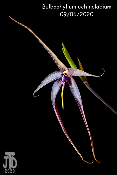 Name:  Bulbophyllum echinolabium2 09062020.jpg Views: 34 Size:  73.8 KB
