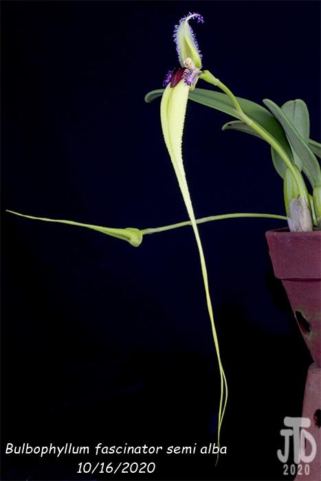Name:  Bulbophyllum fascinator semi alba2 10162020.jpg Views: 36 Size:  62.8 KB