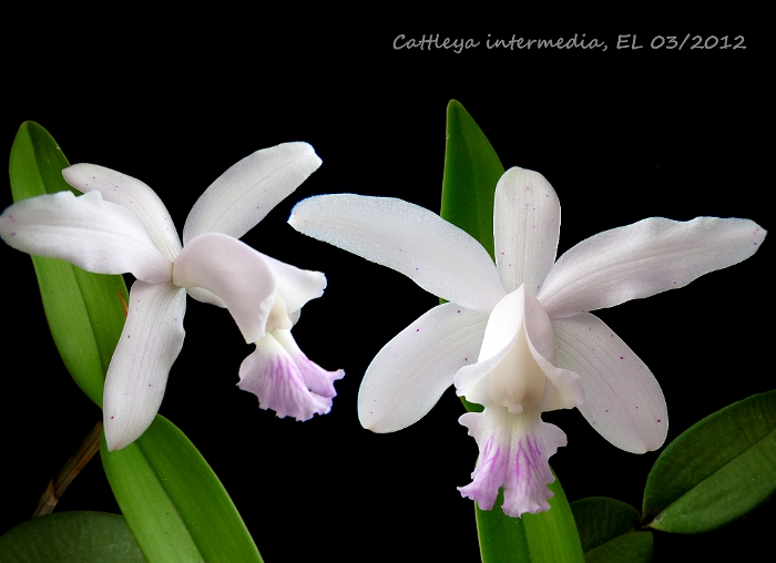Name:  Cattleya intermedia composition 03_2012 OT 1.JPG Views: 485 Size:  152.6 KB